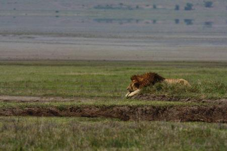black maned lion, ngorongoro crater
