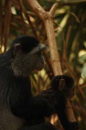 blue monkey, lake manyara