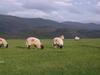 Sheep at the standing stones - near Keswick